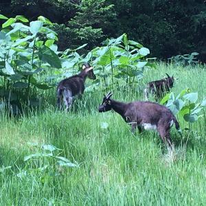 Naturpleje, biodiversitet, invasive arter, bæredygtighed, geder.
