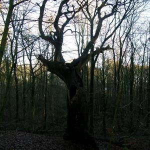 Troldetræ